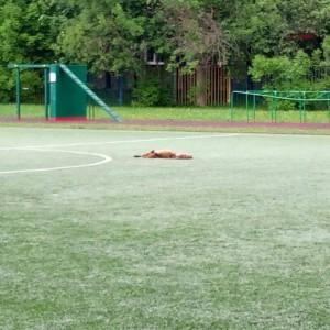 Лиса на школьном стадионе в Чертанове Южном