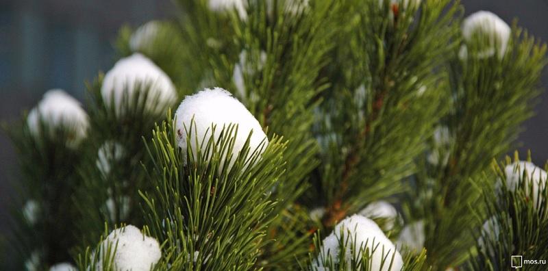 елка, снег, елочный круговорот, сосна, хвоя, мосру, 1612